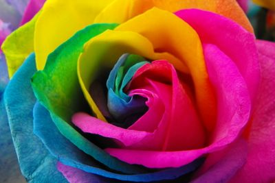 rainbow_roses_by_surrender_the_booty-d4b40mg.jpg
