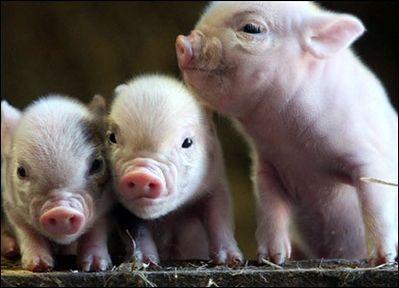 teacup-pigs.jpg