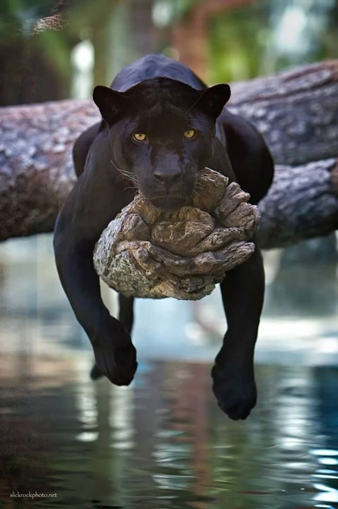 blackleopard.jpg